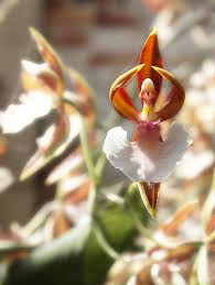diuris corymbosa common donkey orchid orchid flower looks like ballerina flower orchid pinterest