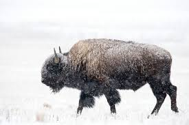 american bison mdc discover nature