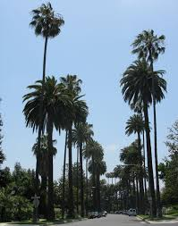 mexican fan palm growth rate ufei selectree a tree selection guide