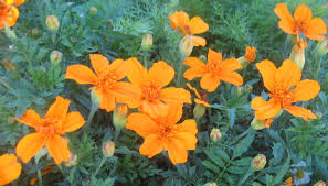 calif native plants the top 5 reasons to use native plants in your yard and where you