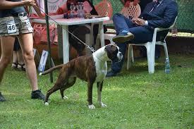 boxer dog shows 2016 boxer deutschalgar