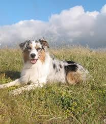 3 legged australian shepherd jinnonhill jpg