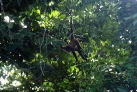 geoffroys spider monkey most popular photos jungledragon