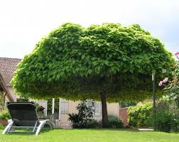 large catalpa shade tree in the backyard shade trees for the