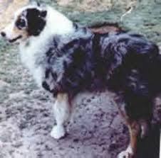 australian shepherd origin las rocosa australian shepherds