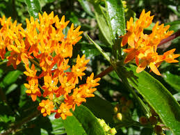 native plant species twelve native milkweeds for monarchs the national wildlife