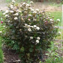 arbuste feuillage pourpre persistant physocarpus opulifolius diabolo physocarpe à feuilles pourpres