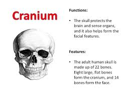 Bones That Form The Cranium Bell Ringer What Do You Know About The Skeletal System Ppt
