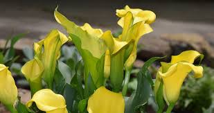 Calla Lily Flower Free Photo Calla Lily Flower Blossom Bloom Free Image On