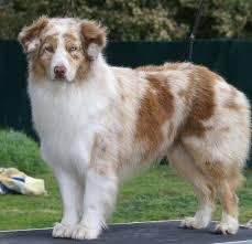 australian shepherd yahoo answers australian shepherd short hair puppy good hair wax for guys