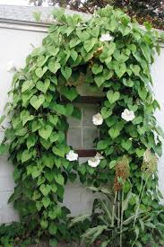Trellis With Vines 10 Fast Growing Flowering Vines Best Wall Climbing Vines To Plant