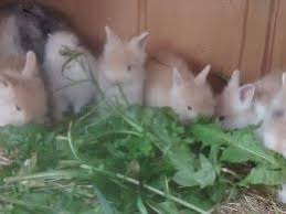 lion heads for sale lionhead rabbits for sale in the uk pets4homes