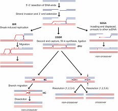mechanisms and regulation of mitotic recombination in