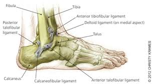 Anterior Distal Tibiofibular Ligament Update On Acute Ankle Sprains American Family Physician