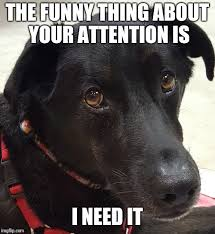 Black Lab Meme - black lab attention imgflip