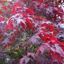 japanese maple tree acer palmatum pygmy available