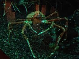 japanese aquarium giant japanese spider crab picture of georgia aquarium atlanta