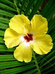 Yellow Hibiscus Flowers - 78 best hibiscus images on pinterest hibiscus flowers tropical