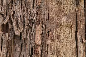 photo 1197 20 texture of a rotten silk floss tree chorisia in