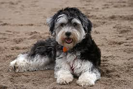 havanese vs bichon frise hypoallergenic dogs list the best dog breeds for people with