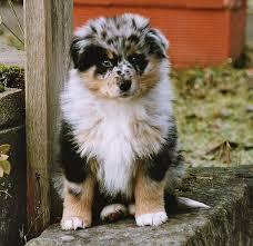 rockin b miniature australian shepherd 88 best pets images on pinterest animals mini aussie and aussies