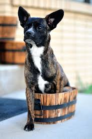 boxer dog pros and cons miniature boxer dog breed everything about miniature boxers