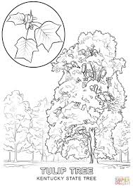 kentucky state tree coloring page free printable coloring pages