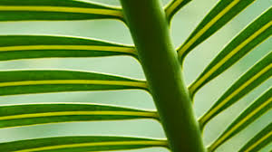 palms for palm sunday easter backgrounds