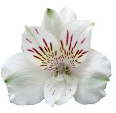 alstroemeria flower alstroemeria colors of 200 stems