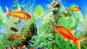 how to stop a fish from chasing its tank mates howcast the