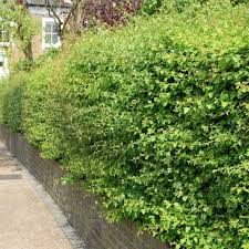 native plants uk native hedging plants