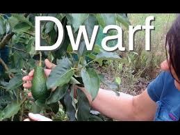 avocado tree but large fruit grafted pinkerton