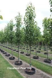 cleveland flowering pear thetreefarm