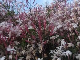 planting jasmine makes sense scents the smarter gardener