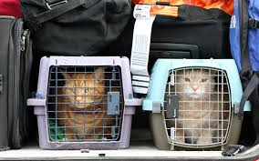 how to travel with a cat images Felines in flight how to travel with your cat by plane zafigo jpg