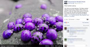 purple pictures false purple ladybugs