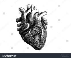 hand drawn realistic human heart sketch stock vector 257317177