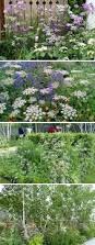 20 best sublime umbellifers images on pinterest garden plants