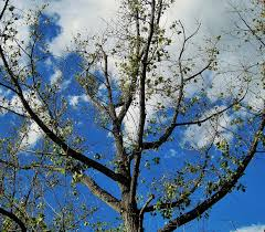 free photo sky leaves green sparse branches bare tree tree max pixel