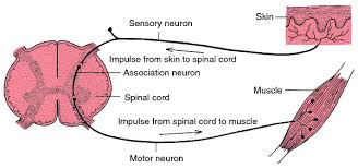 Describe A Reflex Action Spinal Reflex Definition Of Spinal Reflex By Medical Dictionary