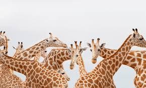 if a giraffe u0027s neck only has seven vertebrae how is it so flexi