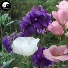 lisianthus flower 2018 buy eustoma lisianthus flower seeds plant mix color balboa
