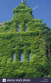 house facade covered climbing plant twiners ivy house home