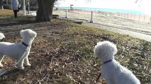 bichon frise breed standard bichon frise puppy u0026 hunting dog chasing squirrel in the park