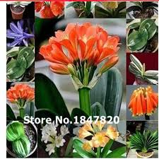 flowers free shipping ggg 100pcs clivia seeds authentic green plant roots boutique