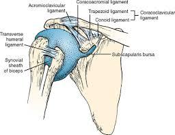 Tendon Synovial Sheath The Biceps Tendon Musculoskeletal Key