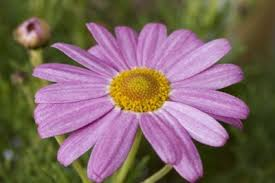 Flowers Information - care of marguerite daisies u2013 information on marguerite daisy