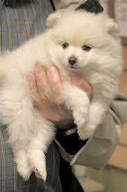 american eskimo dog tattoo 164 best dream dogs images on pinterest animals dapple