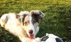 australian shepherd eskimo spitz mix meet ruger the australian shepherd mix on pack