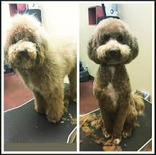sweet penney got her first haircut today doodle goldendoodle